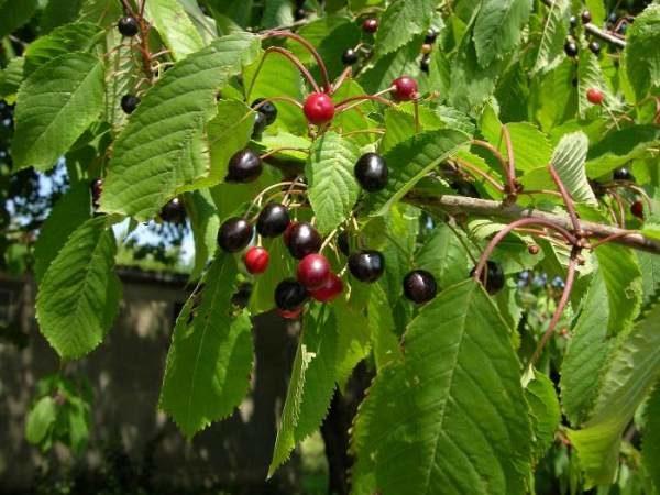 Церападус - гибрид вишни и черемухи