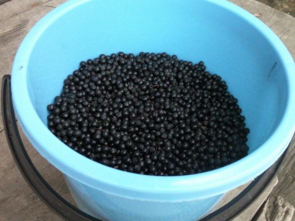Урожай спелой черемухи