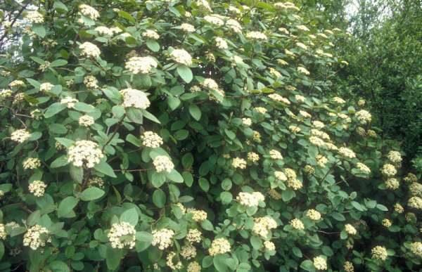 Калина Гордовина в цвету