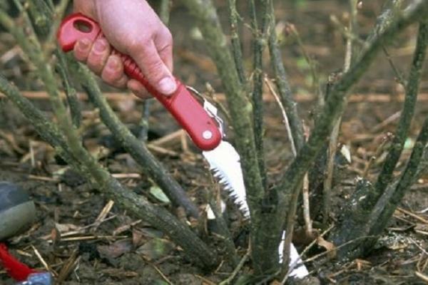 Омолаживающие процедуры необходимы черной смородине, начиная с пятого года роста, а красной и белой – с восьмого
