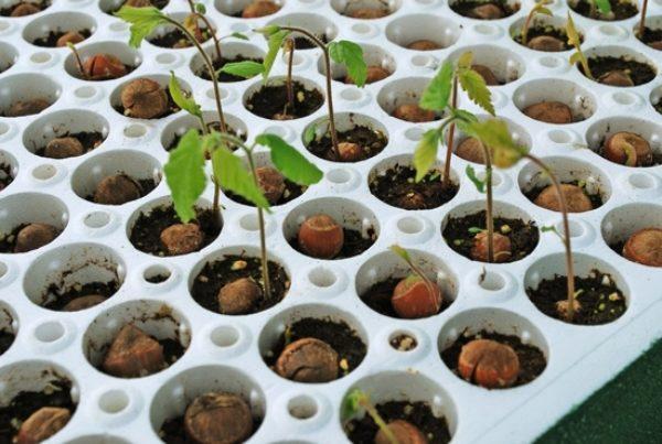 Размножение Краснолистной лещины орехами