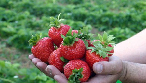 Урожай спелых ягод земляники
