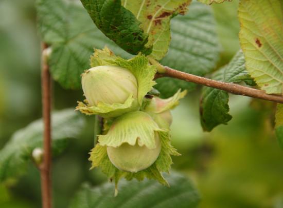 Зеленые орехи лещины