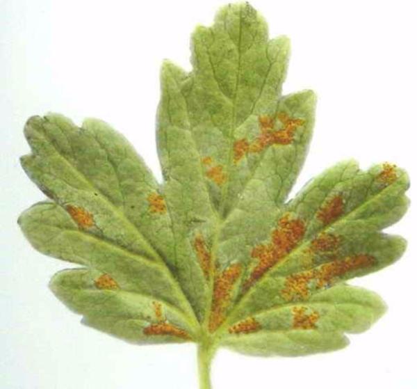 Бокальчатая ржавчина поражает листья крыжовника, ягоды становятся уродливыми и опадают