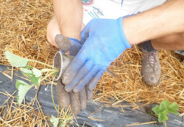 Перед посадкой саженцы положите в воду с добавлением стимуляторов корнеобразования, оставьте на кустике 2-3 листика