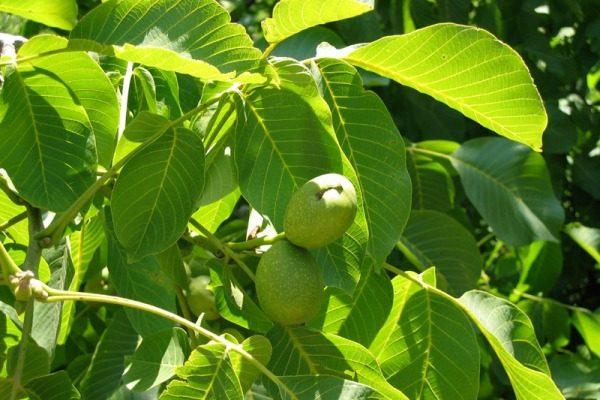 Ветки грецкого ореха с зелеными листьями и плодами