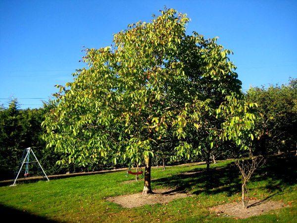 Орех Идеал - это доминирующие дерево и все что рядом будет посажено обречено на погибель