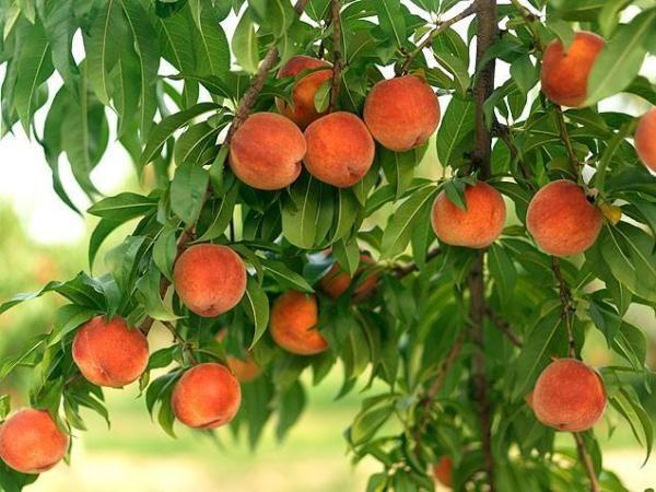 В Европу этот плод завезли из Персии