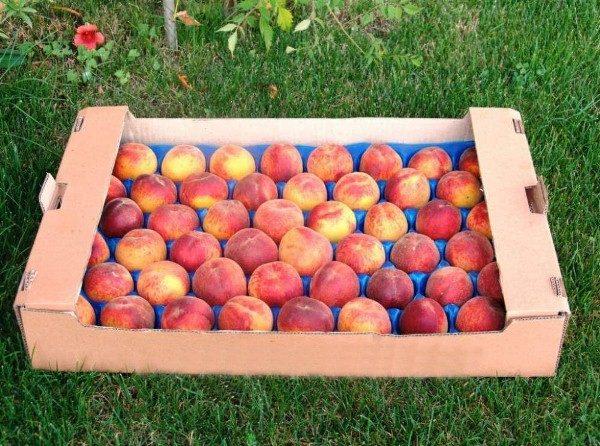 Свежие персики хорошо сохраняются и легко транспортируются в специальных лотках с ячейками