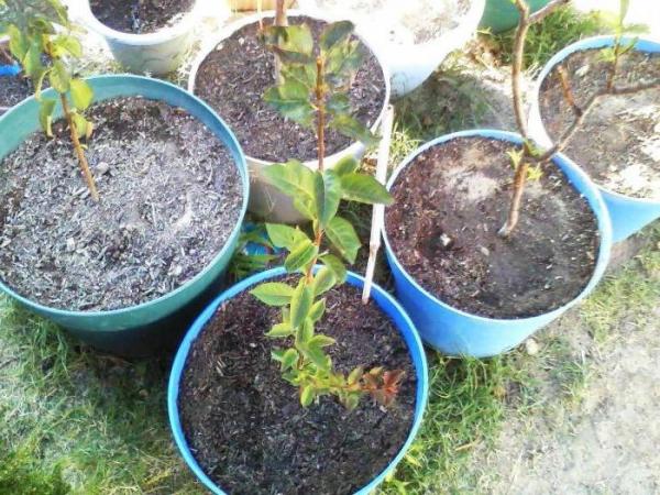 Пересадку саженцев персика в открытый грунт планируйте на март следующего года или начало сентября