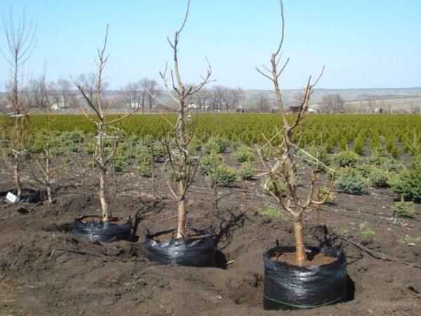 Саженцы персика, готовые к посадке