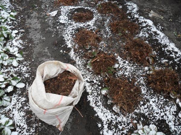 Укрытие садовой земляники Зенга зенгана на зиму