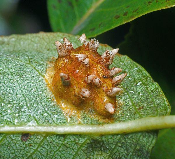 Ржавчина на листьях черемухи Маака