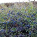 Голубика посадка и уход в открытом грунте