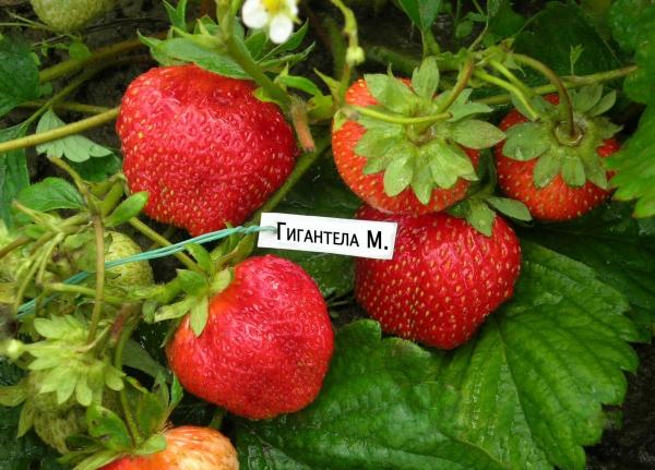 Земляника Гигантелла: описание сорта, правила посадки и ухода, болезни и вредители, отзывы садоводов