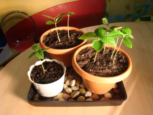 Чтобы сеянцы выжили и набрали силу, необходимо создать для них благоприятные условия, в том числе зимний период покоя