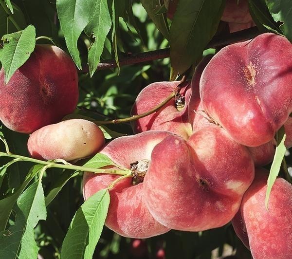 Инжирный персик Никитский плоский