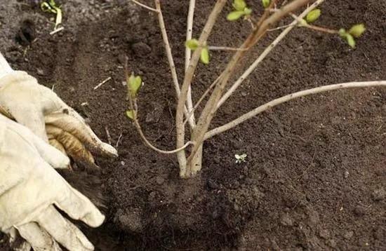 Калина уход и выращивание