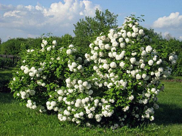 Весеннее цветение калины