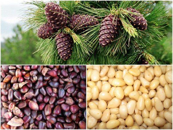 Кедровый орех растёт в шишках кедровых сосен