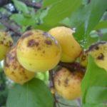 Клястероспориоз абрикоса