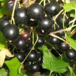 Крупноплодная черная смородина Глобус