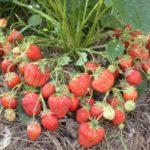Крупноплодная земляника Сахалинская