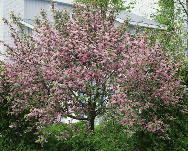 Цветущая черемуха Колората на дачном участке