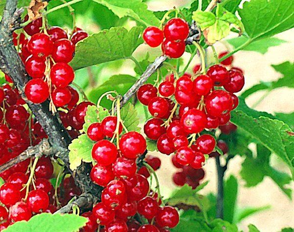 Грозди спелых ягод красной смородины