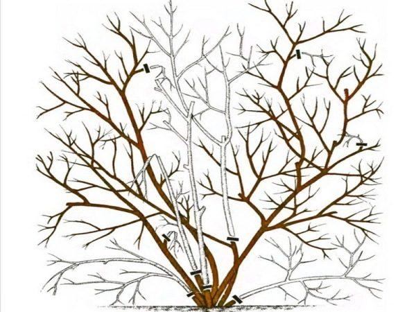 Формовочная обрезка садовой голубики