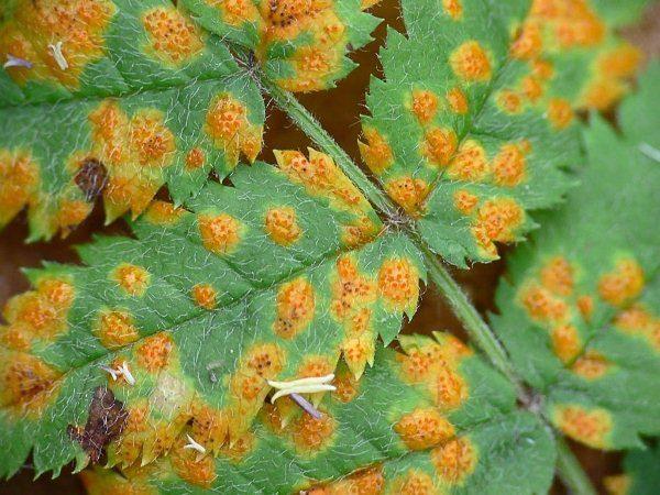 Оранжевая пятнистость на листьях черемухи Маака