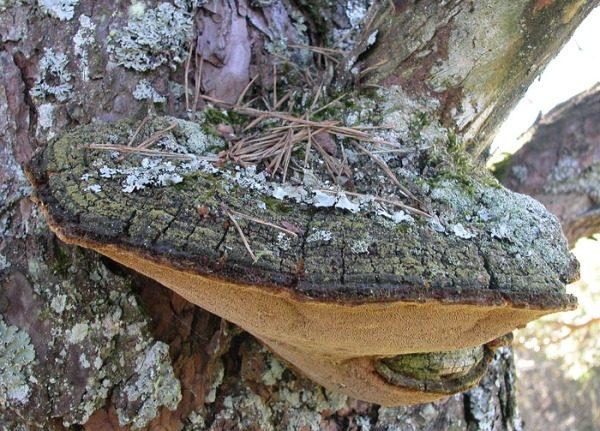 Наличие крупных грибов у основания черемухи свидетельствует о развитии бурой гнили корней дерева