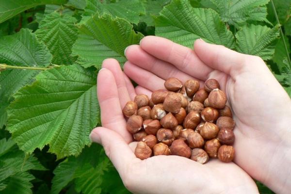 Лесной орех: описание, место произрастания и сроки сбора, польза и вред для здоровья