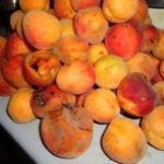 Повреждённые монилиозом плоды абрикоса