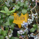 Поздняя высокорослая голубика Нельсон
