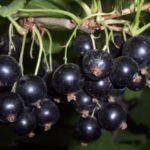 Ранний сорт черной смородины Диковинка
