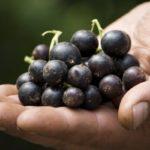 Ранний сорт черной смородины Селеченская-2