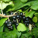Средний сорт черной смородины Черный жемчуг