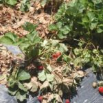 Вертициллёзное увядание садовой земляники