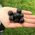 Засухоустойчивый сорт черной смородины Добрыня