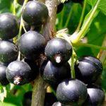 Засухоустойчивый сорт черной смородины Гулливер