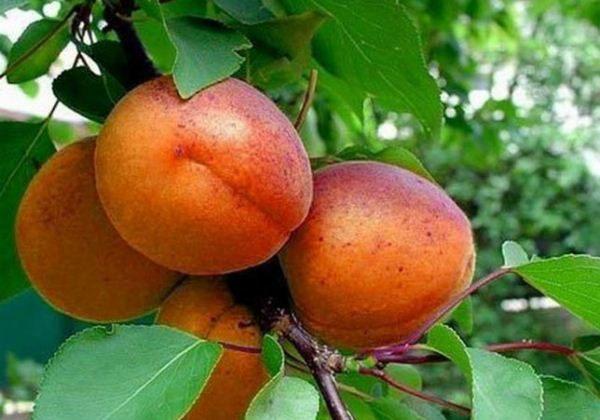 Плоды абрикос Краснощекий