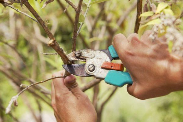 Взрослое растение нуждается в периодическом прореживании кроны