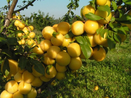Спелые плоды алычи на кусте, готовые к сбору