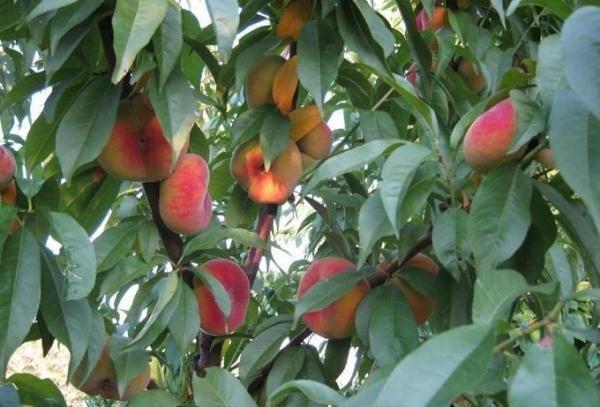 Инжирный персик - солнцелюбивое дерево