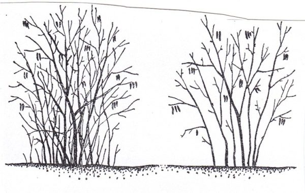 Схема обрезки Фундука: слева - до обрезки, справа - после обрезки