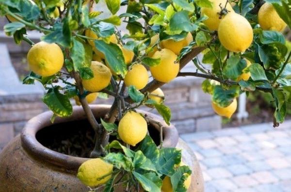 Как вырастить лимон из косточки в домашних условиях: пошаговая инструкция