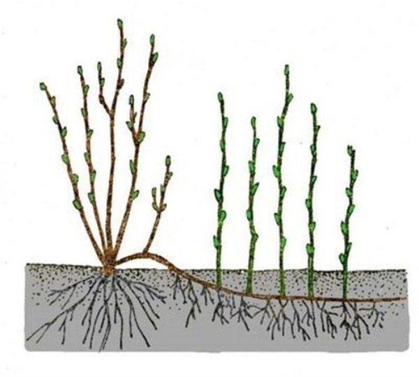 Схема размножения калины отводками