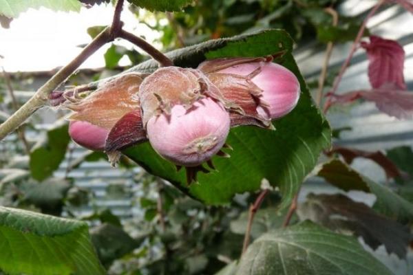 Лесной орех – это источник большого количества полезных веществ, применяется в народной медицине