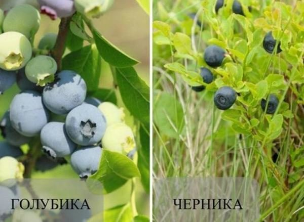 Плоды черники и голубики